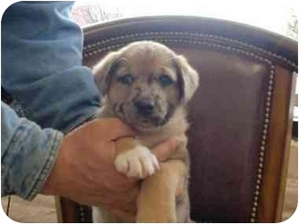 Shepherd (Unknown Type)/Blue Heeler Mix Puppy for adoption in Broomfield, Colorado - Jimmy Stewart
