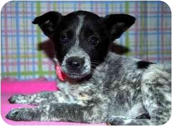 Australian Cattle Dog/Australian Cattle Dog Mix Puppy for adoption in Broomfield, Colorado - Patsy Cline