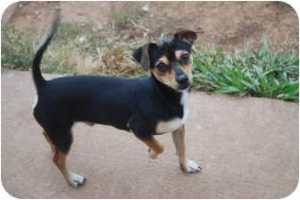 Chihuahua Mix Dog for adoption in Astoria, New York - Leroy
