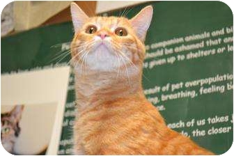 Domestic Shorthair Cat for adoption in Anderson, Indiana - Cubby