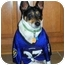 Photo 1 - Rat Terrier Mix Dog for adoption in Glen Burnie, Maryland - Coby