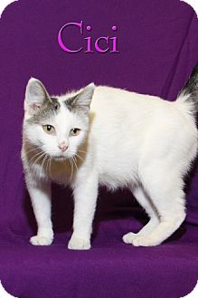 Turkish Van Cat for adoption in Albert Lea, Minnesota - Cici