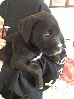 Cane Corso/Labrador Retriever Mix Puppy for adoption in Spring City, Pennsylvania - Corso - Lab Litter