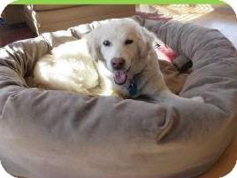 Golden Retriever Mix Dog for adoption in Denver, Colorado - Porsche