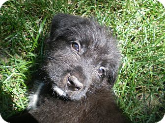 Schnauzer (Miniature)/Basset Hound Mix Puppy for adoption in Apex, North Carolina - Abraham