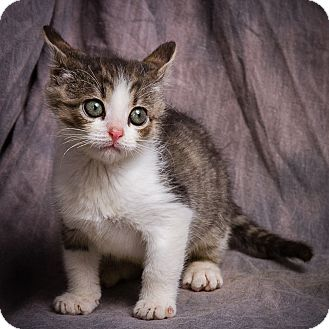 Domestic Shorthair Kitten for adoption in Anna, Illinois - FRANK