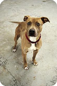 Pit Bull Terrier Mix Dog for adoption in Middletown, New York - Bruce