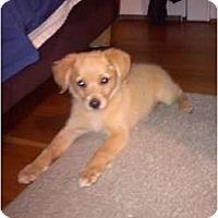 Adopt A Pet :: Teddy Girl - Eden, NC