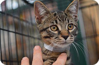 Polydactyl/Hemingway Kitten for adoption in Brooklyn, New York - Indigo