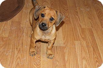 Dachshund/Chihuahua Mix Puppy for adoption in Fountain, Colorado - Ringo