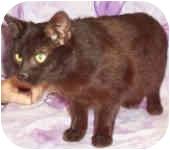 Domestic Shorthair Cat for adoption in Murphysboro, Illinois - Hampton