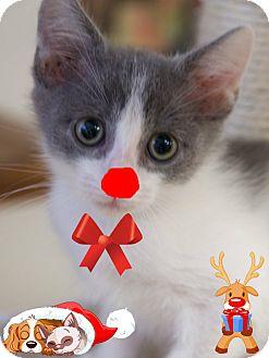 Domestic Shorthair Kitten for adoption in Homewood, Alabama - Rudolph
