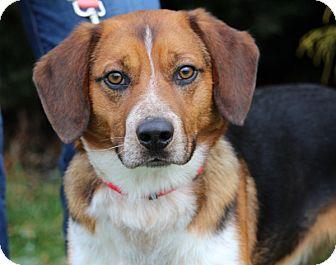 Beagle Mix Dog for adoption in Elyria, Ohio - Wayland