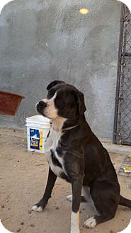 Boxer Mix Dog for adoption in Lucerne Valley, California - Savannah