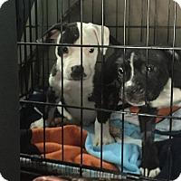 Adopt A Pet :: Puppies - Pembroke pInes, FL