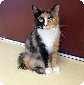 Calico Cat for adoption in Newburgh, Indiana - Clara