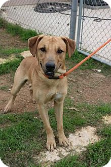 Black Mouth Cur/Rhodesian Ridgeback Mix Dog for adoption in Pluckemin, New Jersey - Sonny