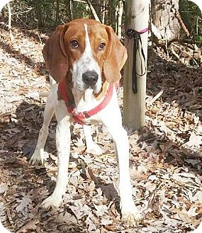 Redtick Coonhound/Hound (Unknown Type) Mix Dog for adoption in Lincolnton, North Carolina - Cletus $40
