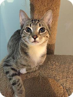 Domestic Shorthair Kitten for adoption in Greensburg, Pennsylvania - Cheerio