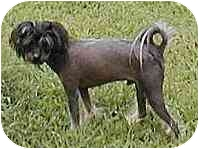 Chinese Crested Dog for adoption in Antioch, Tennessee - Bare