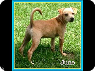 Chihuahua/Jack Russell Terrier Mix Puppy for adoption in Elgin, Illinois - June