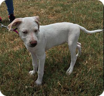 Australian Shepherd Mix Puppy for adoption in Cat Spring, Texas - Sugar