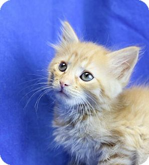 Domestic Longhair Kitten for adoption in Winston-Salem, North Carolina - Alex