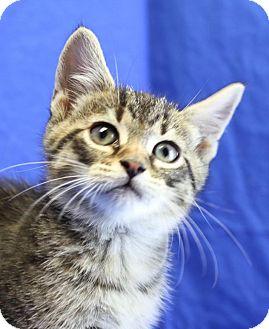 Domestic Shorthair Kitten for adoption in Winston-Salem, North Carolina - Winston
