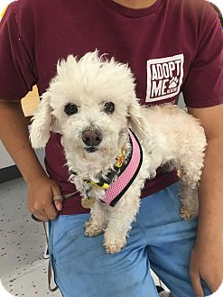 Poodle (Toy or Tea Cup) Dog for adoption in Studio City, California - Maddie