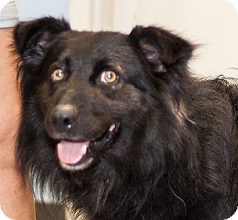 Australian Shepherd Mix Dog for adoption in Martinsville, Indiana - Dirk