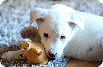 Blue Heeler/Border Collie Mix Puppy for adoption in Hayes, Virginia - Malia