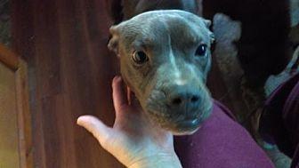 Boxer/Pit Bull Terrier Mix Dog for adoption in New Hartford, New York - Boxer Pitbull Mix Sal