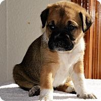 Adopt A Pet :: Kona - Denver, CO