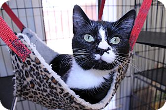 Burmese Cat for adoption in Lumberton, North Carolina - Bell