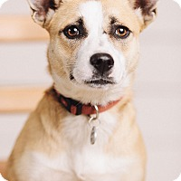 Adopt A Pet :: Amity - Portland, OR