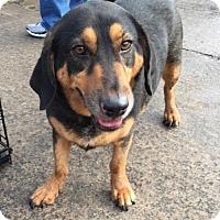 Dachshund/Basset Hound Mix Dog for adoption in Houston, Texas - Wilson