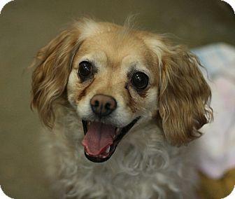Cocker Spaniel Dog for adoption in Canoga Park, California - Maneka