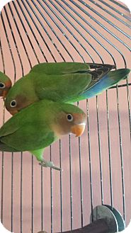 Lovebird for adoption in Madison, Wisconsin - Aldo and Genesee