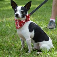 Chihuahua Mix Dog for adoption in Lafayette, Louisiana - Tiny Tim