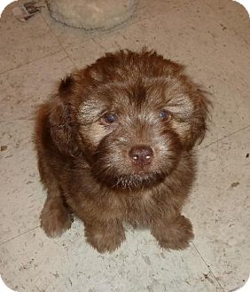Lhasa Apso Mix Puppy for adoption in Ashland, Virginia - Laura-ADOPTED!!!