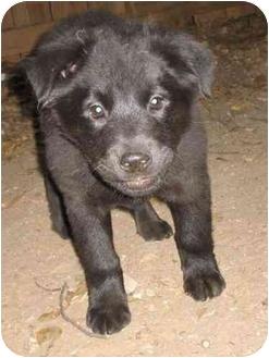 Labrador Retriever/Chow Chow Mix Puppy for adoption in Atlanta, Georgia - Little Bear