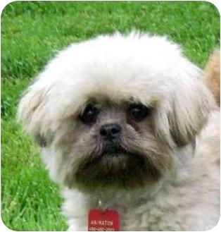 Shih Tzu Mix Dog for adoption in Ile-Perrot, Quebec - Nugget