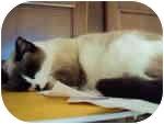 Snowshoe Cat for adoption in Tampa, Florida - Sasha