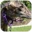 Photo 1 - Greyhound Dog for adoption in San Diego, California - Wiggins
