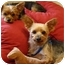 Photo 3 - Yorkie, Yorkshire Terrier Dog for adoption in Ocala, Florida - Scooby