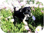 Chihuahua Mix Puppy for adoption in Farmers Branch, Texas - Chasey Lane