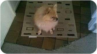 Pomeranian Mix Dog for adoption in Williamsburg, Virginia - Buddy