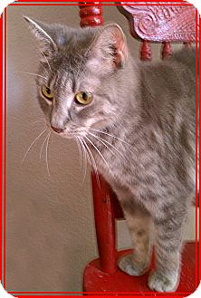 Domestic Shorthair Cat for adoption in Sugar Land, Texas - -Twinkle Toes
