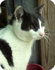 Domestic Shorthair Cat for adoption in Milton, Massachusetts - Blake