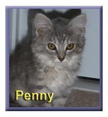 Domestic Mediumhair Kitten for adoption in Aldie, Virginia - Penny